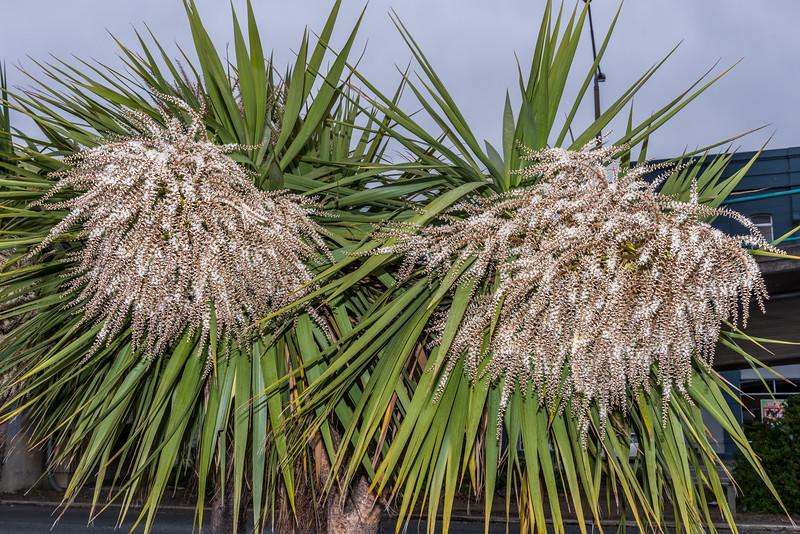 Cabbage tree / tī kōuka (Cordyline australis). Dunedin.
