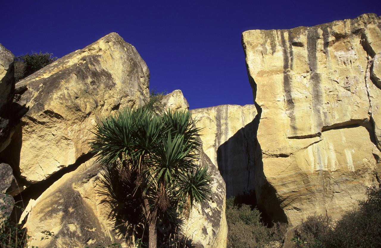 Cabbage tree (Cordyline australis). Earthquakes, Otago