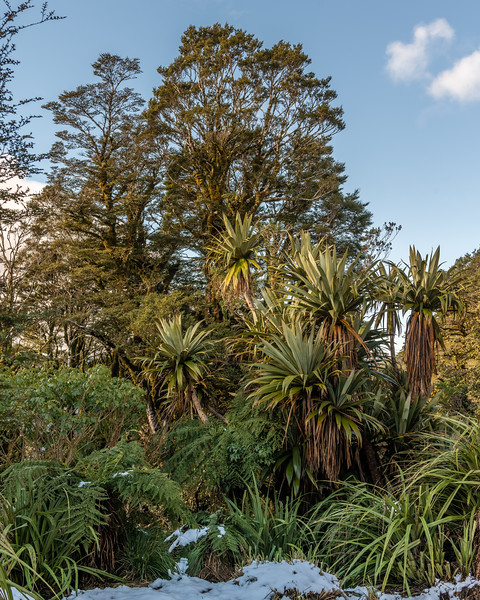 Mountain cabbage tree / tōī (Cordyline indivisa). Field Hut. Judd Ridge, Tararua Forest Park.
