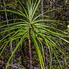 Slender dragon tree or grass tree (Dracophyllum elegantissimum). Castle Rocks, Abel Tasman National Park.