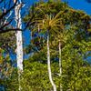 Pineapple tree or mountain neinei (Dracophyllum traversii). Castle Rocks, Abel Tasman National Park.