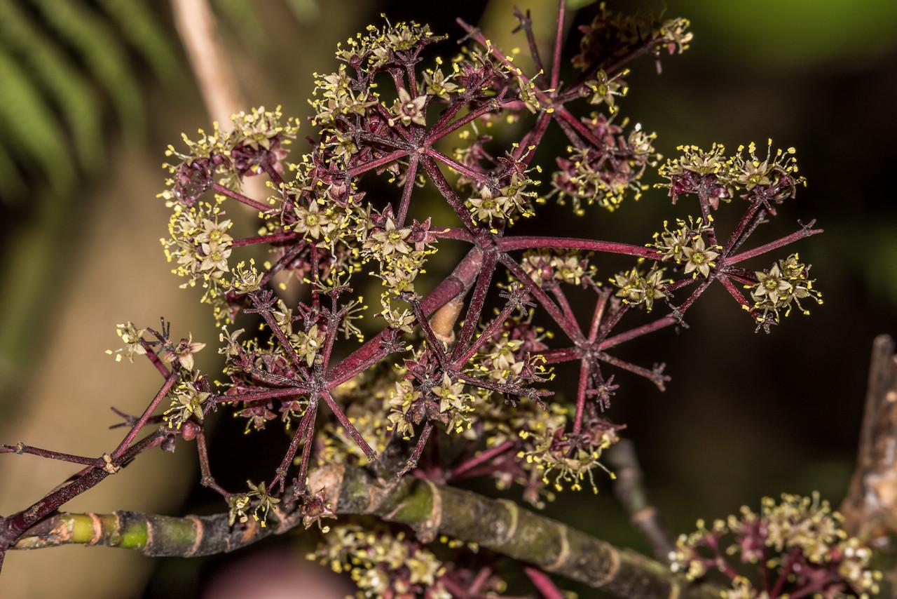 Five-finger / puahou or whauwhaupaku (Pseudopanax arboreus) flowers. Opoho, Dunedin.