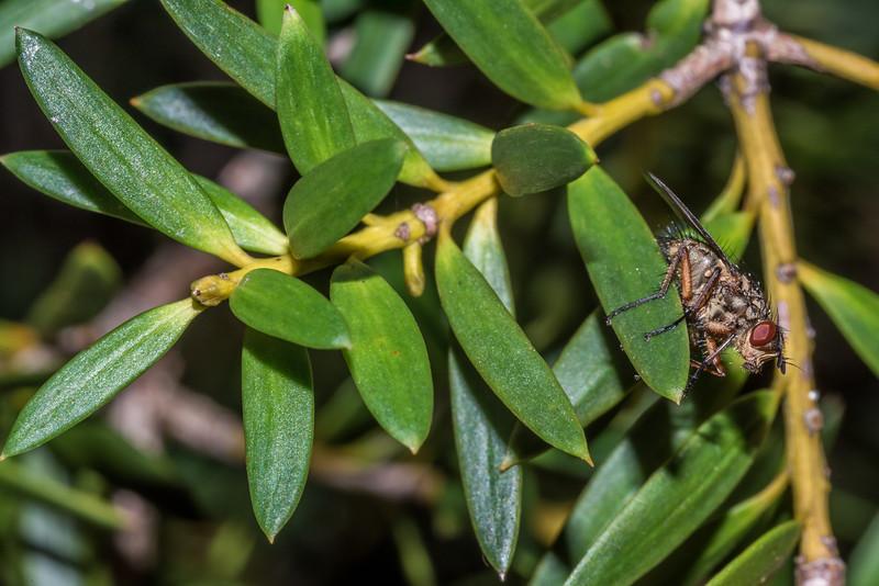 Bristle fly (tachinid) on Hall's tōtara (Podocarpus cunninghamii). Matukituki River West Branch opposite Raspberry Creek.