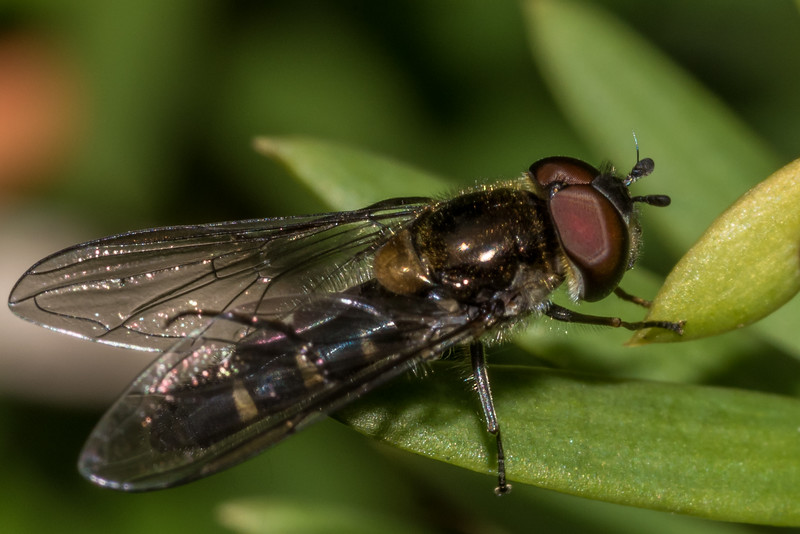 Male large hover fly (Melangyna novaezelandiae) on Hall's tōtara (Podocarpus cunninghamii). Matukituki River West Branch opposite Raspberry Creek.