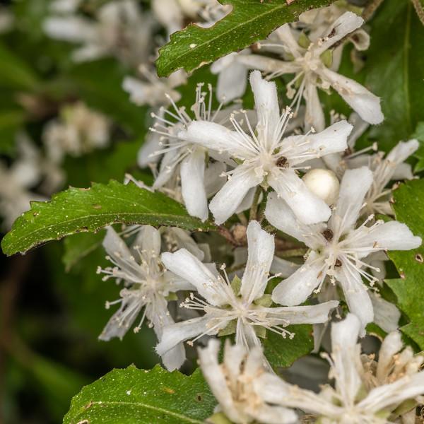 Narrow-leaved lacebark (Hoheria angustifolia). Sinclair Wetlands, Dunedin.