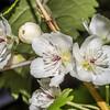 Mountain ribbonwood / houhere (Hoheria glabrata). Emily Creek, Routeburn.