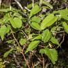 Mountain ribbonwood / houhere (Hoheria glabrata). Gertrude Valley, Fiordland National Park.