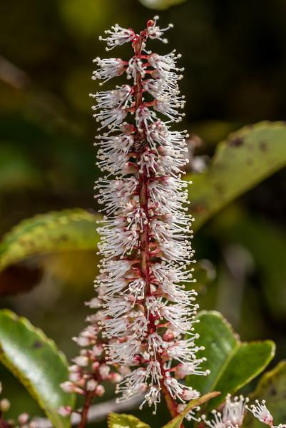 Kāmahi (Weinmannia racemosa). Aorere Shelter, Heaphy Track, Kahurangi National Park.