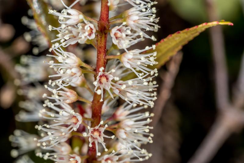 Kāmahi (Weinmannia racemosa). Sandy Bay, Abel Tasman Coast Track.