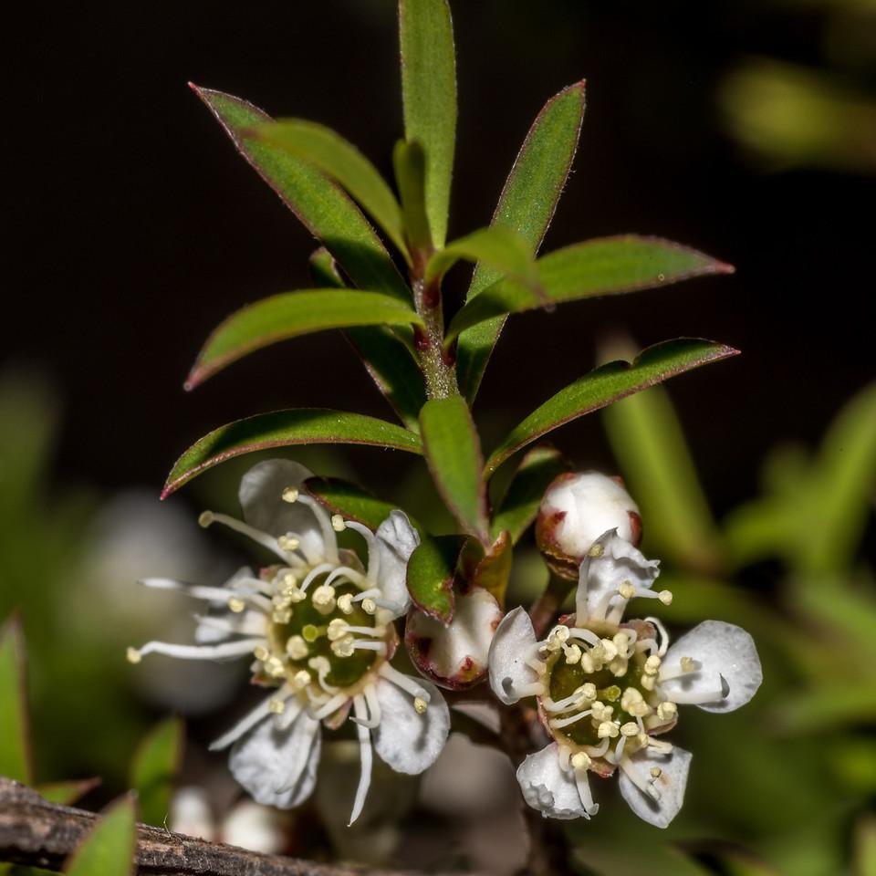 Kānuka (Kunzea ericoides). Mount Fyffe, Kaikoura.