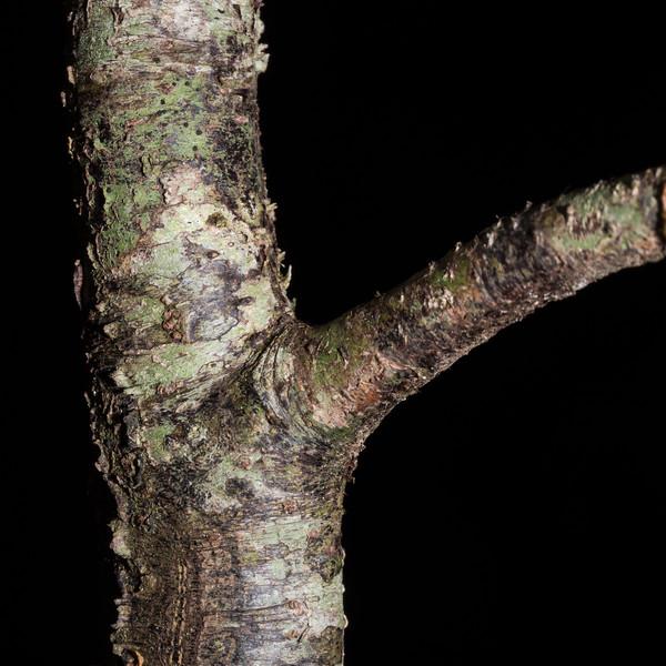 White pine / kahikatea (Dacrycarpus dacrydioides). Shallow Bay to Rainbow Reach, Kepler Track, Fiordland National Park.
