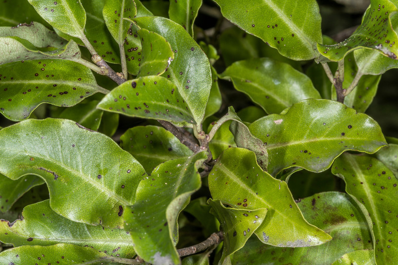 Kōhūhū (Pittosporum tenuifolium). Heyward Point, Dunedin