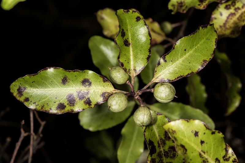 Kōhūhū (Pittosporum tenuifolium). Heyward Point, Dunedin.