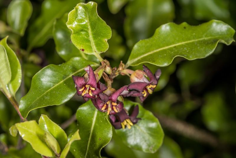 Kōhūhū (Pittosporum tenuifolium). Opoho, Dunedin.