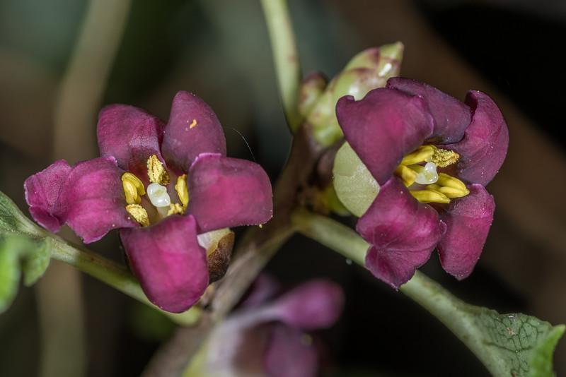 Kōhūhū (Pittosporum tenuifolium). Travis Wetland, Christchurch.