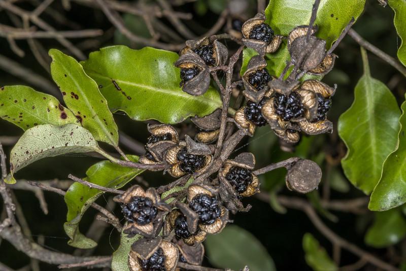 Kōhūhū (Pittosporum tenuifolium) seed capsules. Heyward Point, Dunedin
