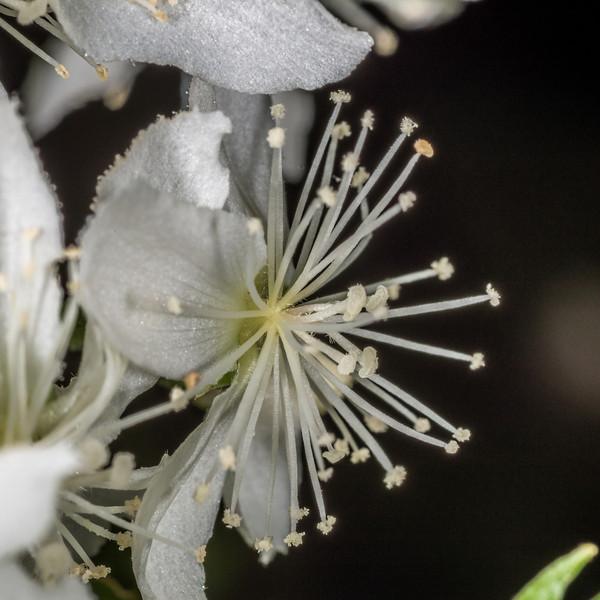 Lacebark / houhere (Hoheria populnea) flower. Opoho, Dunedin