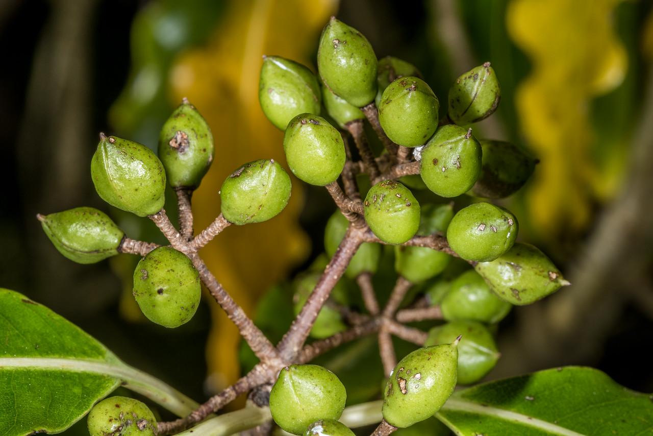 Lemonwood / tarata (Pittosporum eugenioides). Heyward Point, Dunedin.