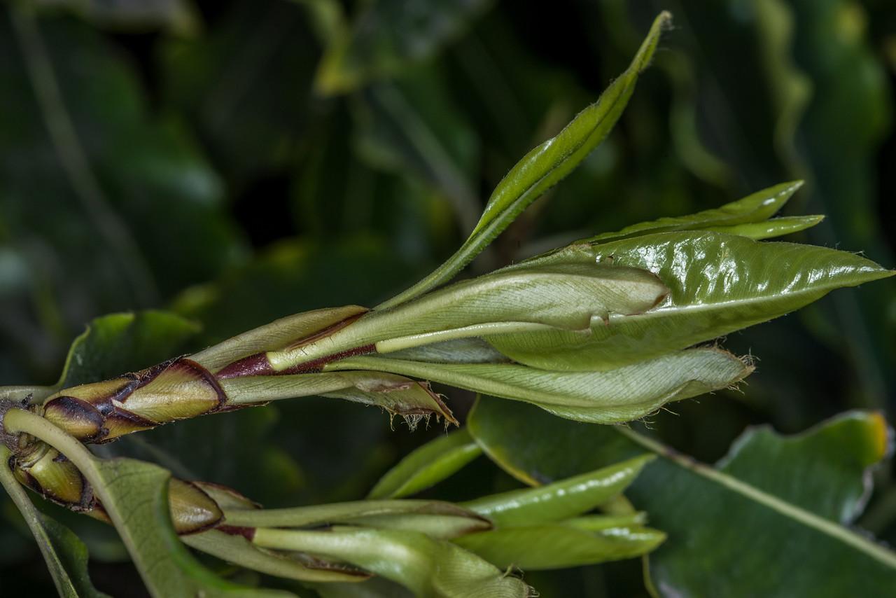 Lemonwood / tarata (Pittosporum eugenioides). Travis Wetland, Christchurch.