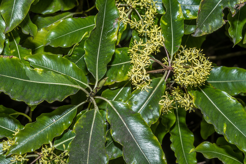Lemonwood / tarata (Pittosporum eugenioides). Travis Wetland, Christchurch.