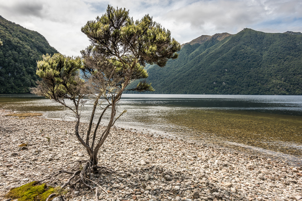 Mānuka (Leptospermum scoparium) tree on the western shore of Lake Poteriteri. The Princess Mountains are in the background.