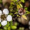Mānuka (Leptospermum scoparium). Gouland Downs Hut, Heaphy Track, Kahurangi National Park.
