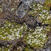 Mānuka (Leptospermum scoparium), growing as a carpet on the summit of Three Pointer. Heaphy Track, Kahurangi National Park.