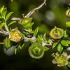 Mānuka (Leptospermum scoparium) seed capsules. Mount Fyffe, Kaikoura.