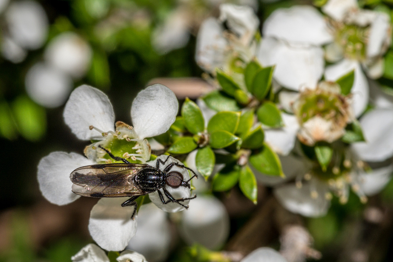 Male march fly (Dilophus nigrostigma) on mānuka flower (Leptospermum scoparium). Mount Fyffe, Kaikoura.