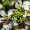 Male march fly (Dilophus nigrostigma) on mānuka flower (Leptospermum scoparium). Mount Fyffe, Kaikoura.