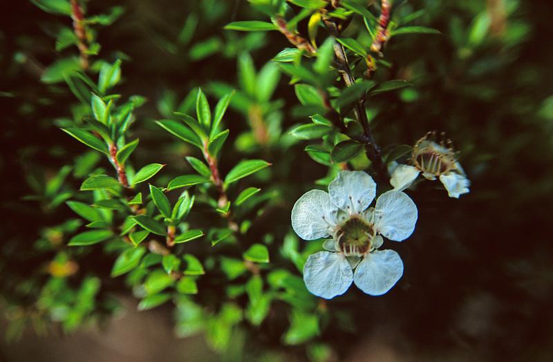 Mānuka (Leptospermum scoparium). Mitre Peak
