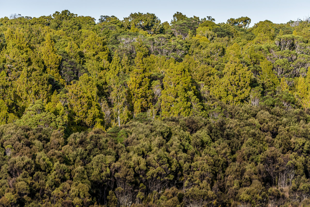 Mature podocarp forest, mainly rimu (top layer) and regenerating mānuka forest (bottom layer). Lake Wilkie, Catlins