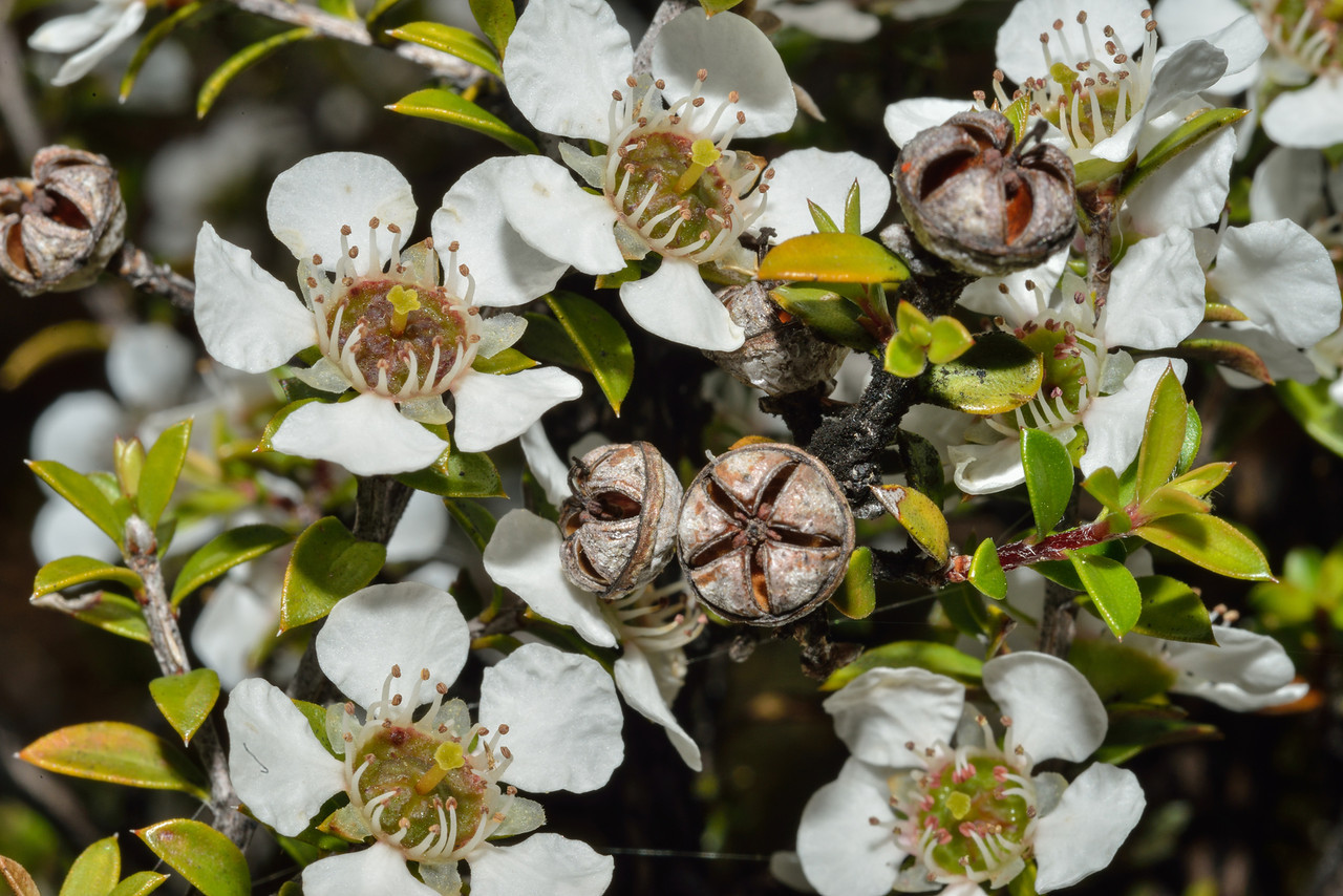 Mānuka (Leptospermum scoparium) flowers and seed capsules. Caples River