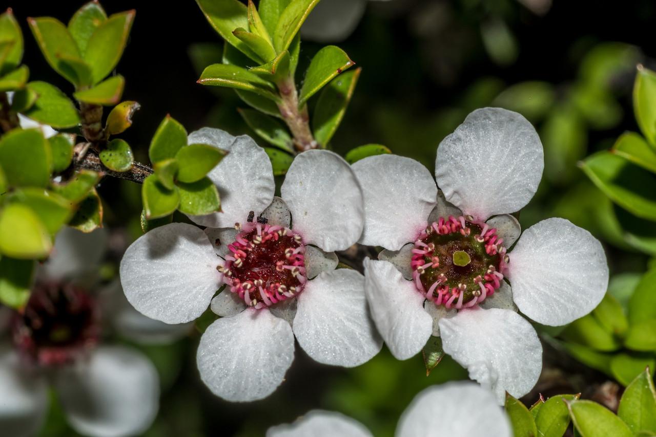Mānuka (Leptospermum scoparium). Mount Fyffe, Kaikoura.