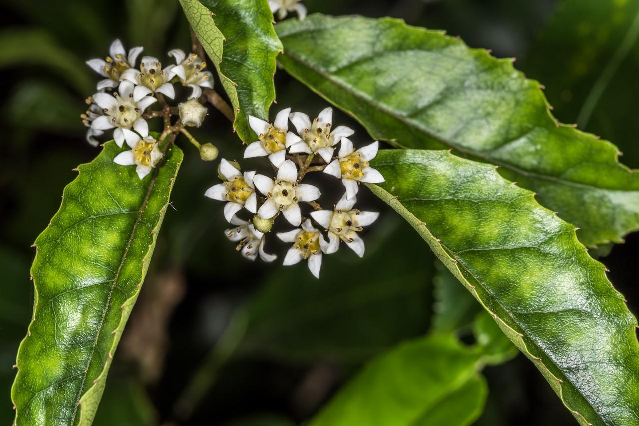 Marbleleaf / putaputawētā (Carpodetus serratus). Opoho, Dunedin
