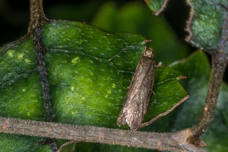 Moth on marbleleaf / putaputawētā (Carpodetus serratus). Opoho, Dunedin