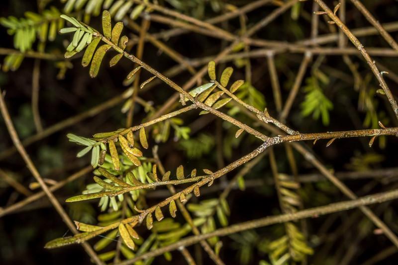 Mataī (Prumnopitys taxifolia). Shallow Bay, Lake Manapouri, Fiordland National Park.