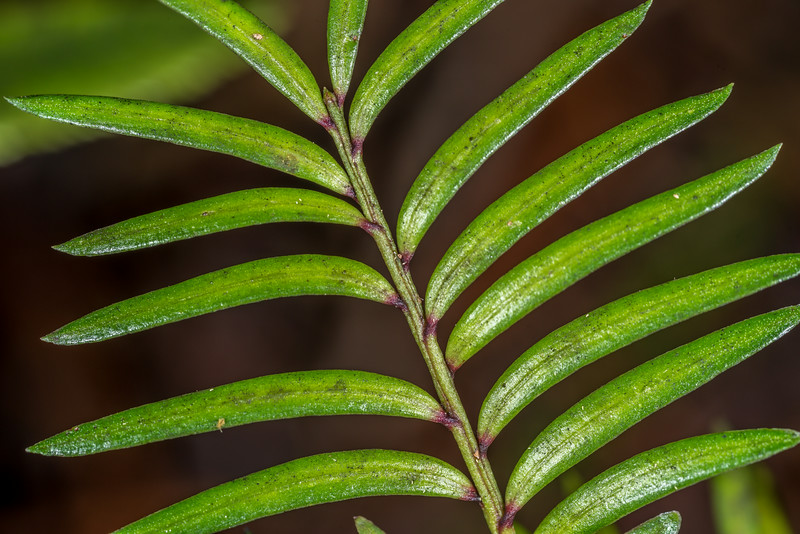 Miro (Prumnopitys ferruginea). Lake Wilkie, Catlins