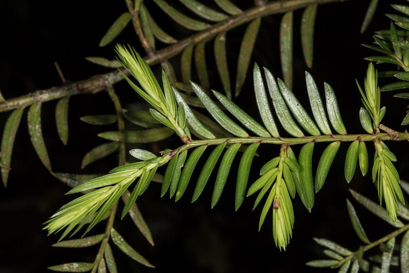 Miro (Prumnopitys ferruginea). Shallow Bay, Lake Manapouri, Fiordland National Park.