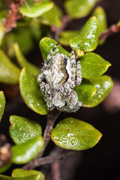Garden orbweb spider (Eriophora pustulosa) on mountain beech (Fuscospora cliffortioides). Cameron Mountains, Fiordland National Park.