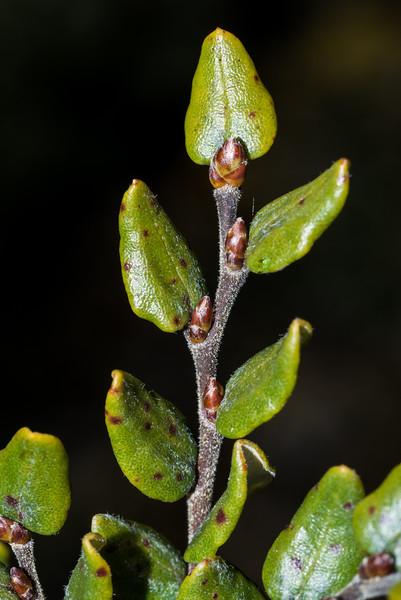 Mountain beech / tawhairauriki (Fuscospora cliffortioides). Porter Rock, Abel Tasman National Park.