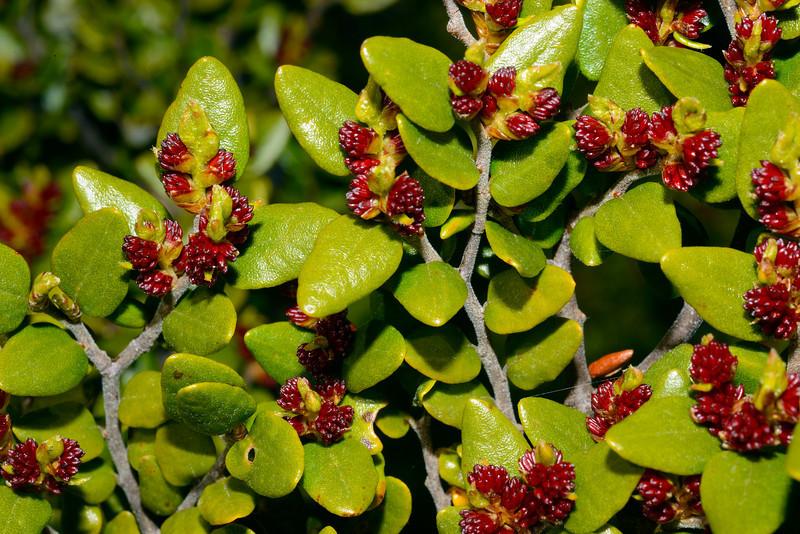 Mountain beech / tawhairauriki (Fuscospora cliffortioides) male flowers. Canyon Creek, Ahuriri