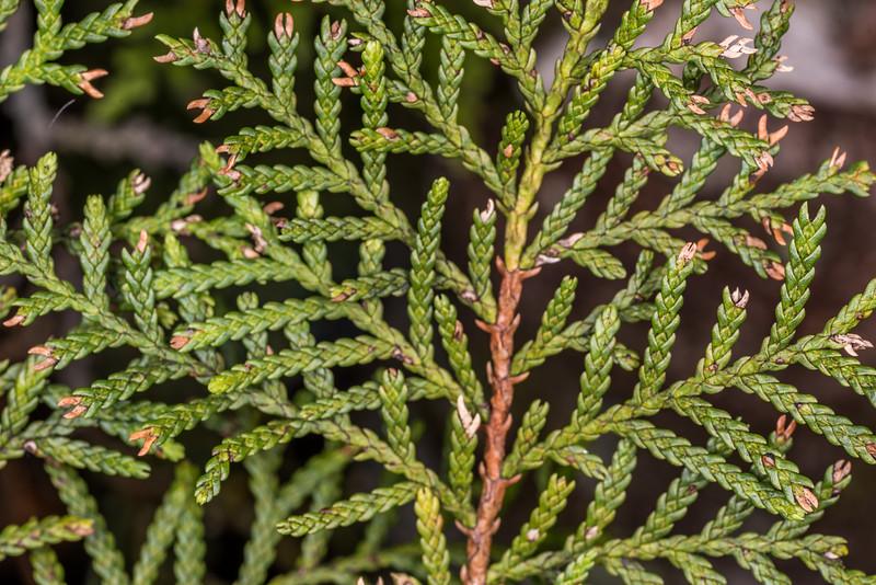 Mountain cedar / kaikawaka or pāhautea (Libocedrus bidwillii). Heaphy Track east of Saxon Hut, Kahurangi National Park.