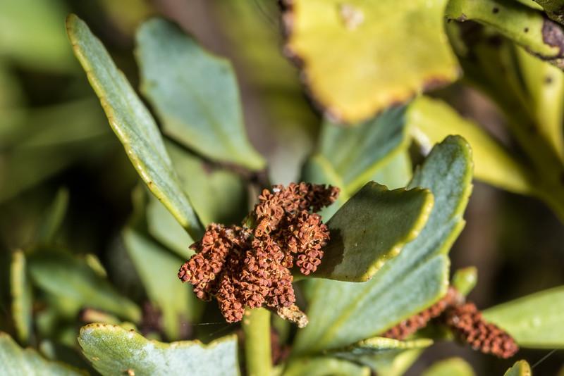 Mountain toatoa (Phyllocladus alpinus). Amoeboid Mire, Kepler Track, Fiordland National Park.