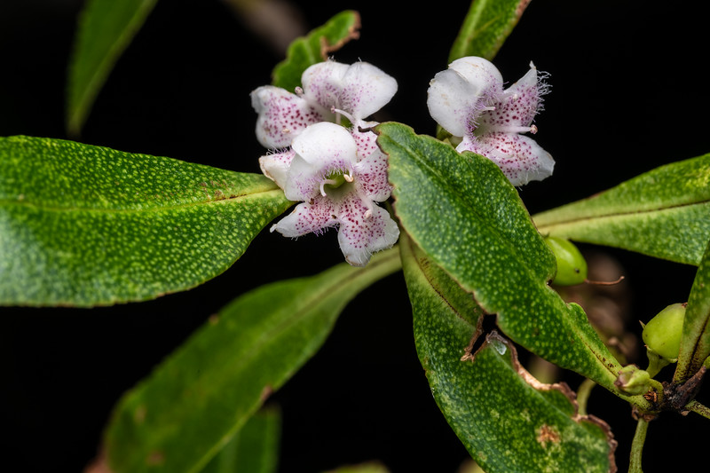 Ngaio (Myoporum laetum). Travis Wetland, Christchurch.