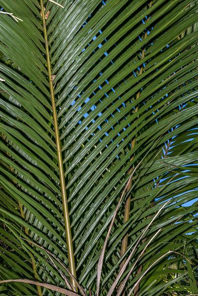 Nīkau (Rhopalostylis sapida). Pukatea Walk, Tōtaranui, Abel Tasman National Park.