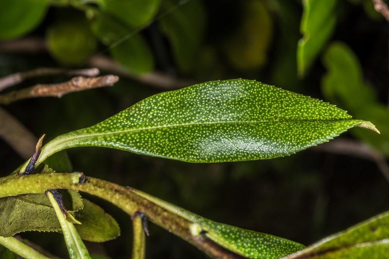 Ngaio (Myoporum laetum). Tomahawk Track, Dunedin.