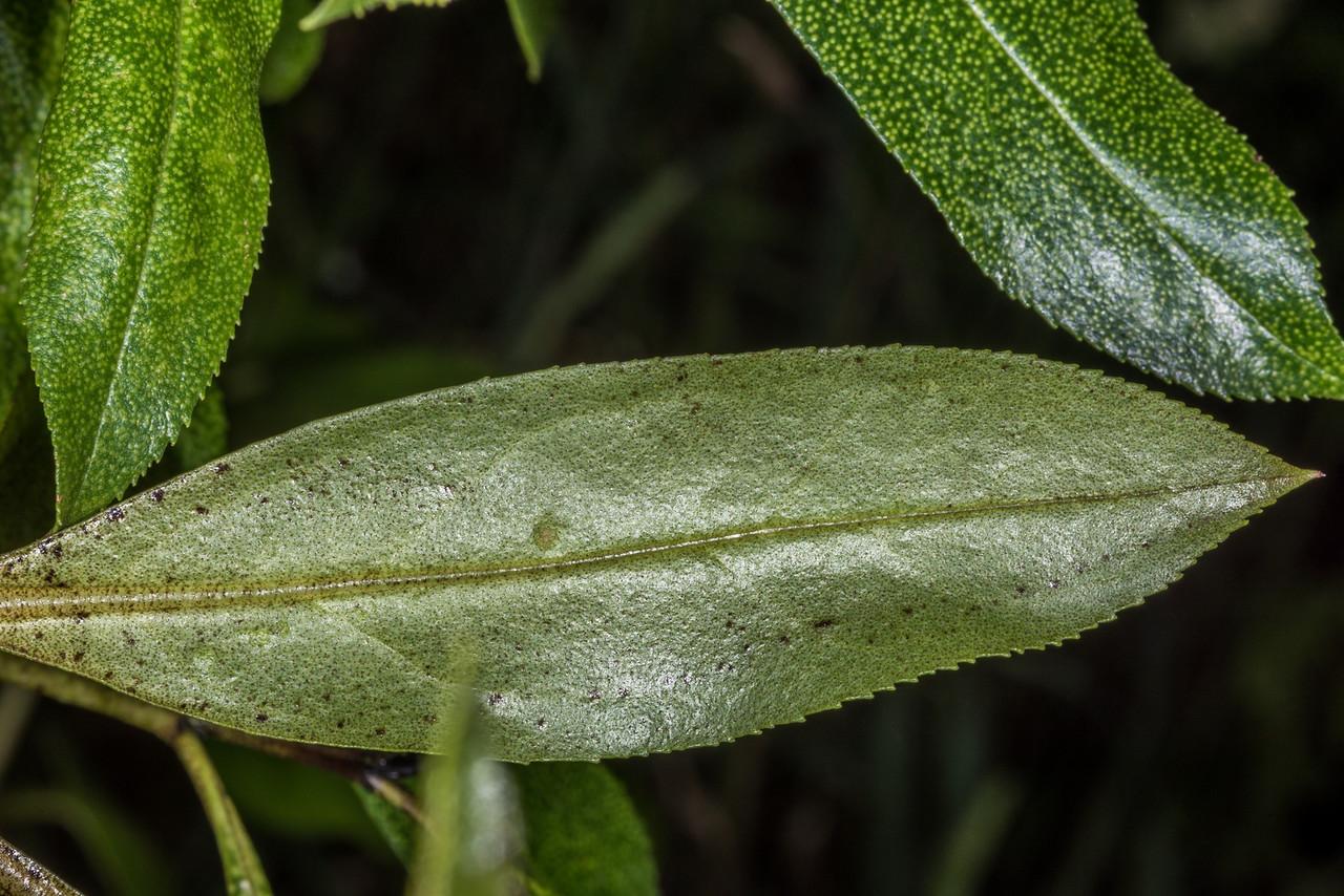 Ngaio (Myoporum laetum) underside of leaf. Tomahawk Track, Dunedin.