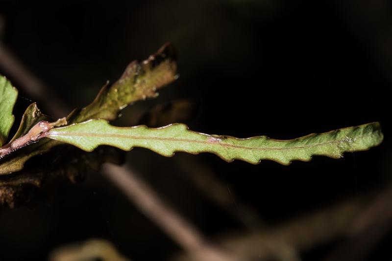 Pōkākā (Elaeocarpus hookerianus). Moturau to Rainbow Reach, Kepler Track, Fiordland National Park.