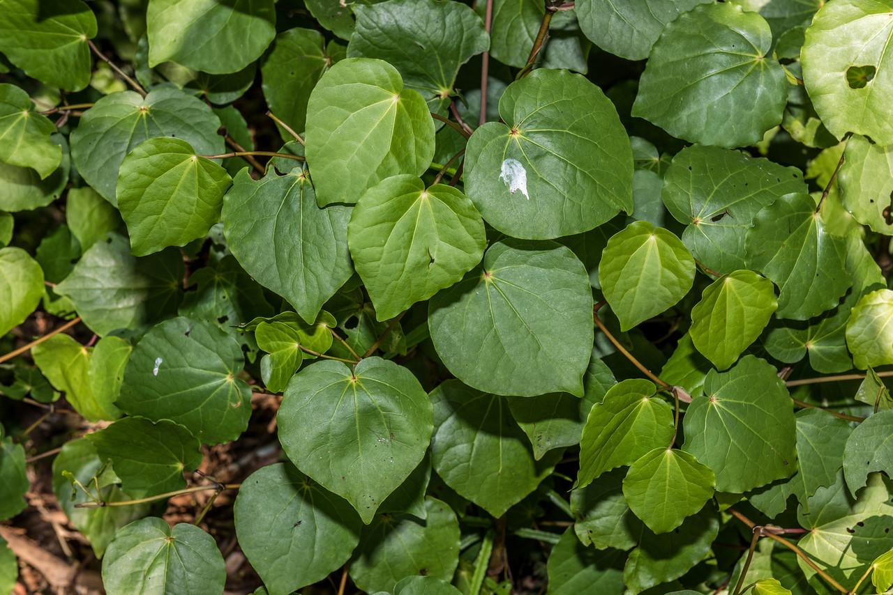 Pepper tree / kawakawa (Piper excelsum subsp. excelsum). Parapara Peak Track car park, Golden Bay.